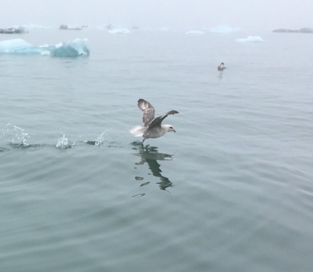 Arctic - bird on water