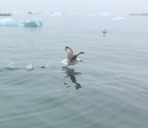 Arctic - bird on water