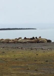 Arctic - walruses